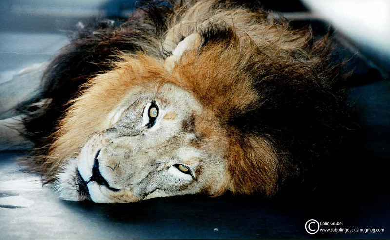Resting lion.  A male African Lion, Panthera leo, rests in the early morning hours before going out into the yard for the day: Zoo Atlanta.