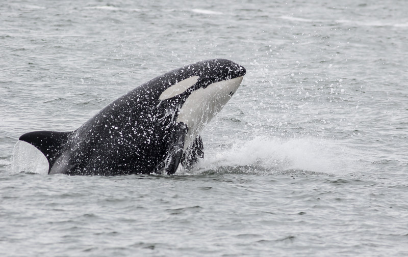 Orca hunting and killing a Harbor Porpoise in the San Juan Islands near Anacortez, WA.