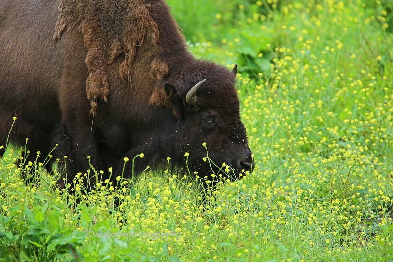 Bison and Wild Mustard