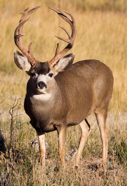 Mule Deer Buck-Colorado.