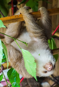 Baby Two toed Sloth Antics
