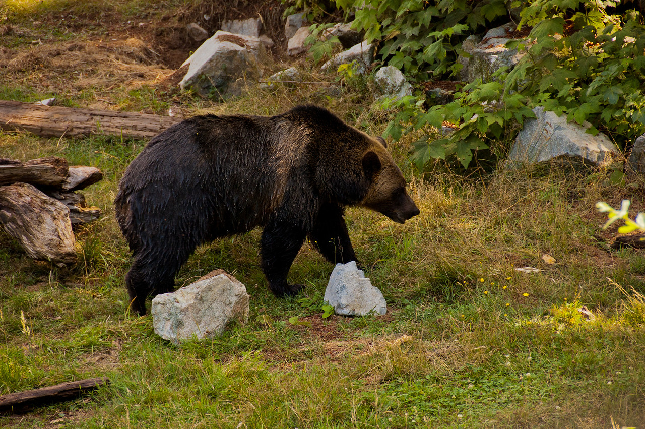 A grizzly walking across the meadow.