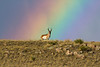 Pronghorn with Rainbow<br /> American Bison <br /> The Nature Conservancy's Phantom Canyon Preserve<br /> Colorado, USA