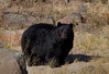 Black Bear-Yellowstone National Park.