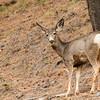Mule Deer neer Deer Park, BC, April 2012