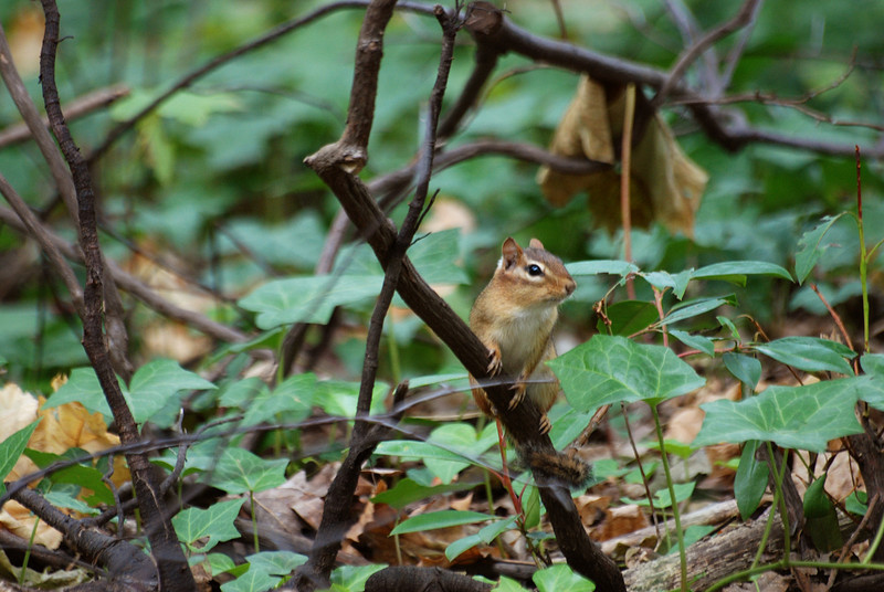 eastern chipmunk, Prospect Park, Brooklyn
