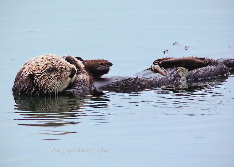 Otter at Morro Bay