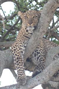 Leopard Maasai Mara Kenya 2011