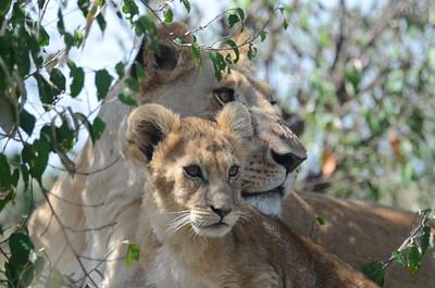 Lioness and cub Maasai Mara Kenya 2011