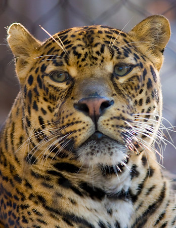 Jaguar at Houston Zoo, February 2009