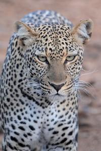 Female Leopard Samburu National Reserve Kenya 2011