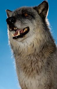 Wolf (captive)