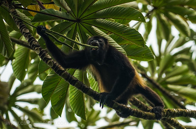 Howler Monkey Wants a Chew