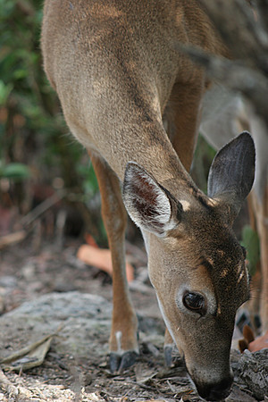 Endangered Florida Key Deer (<i>Odocoileus virginianus clavium</i>) Big Pine Key, FL