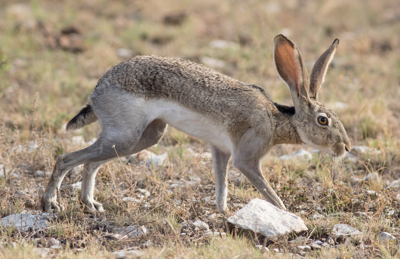 Black-tailed Jackrabbit - Lepus californicus