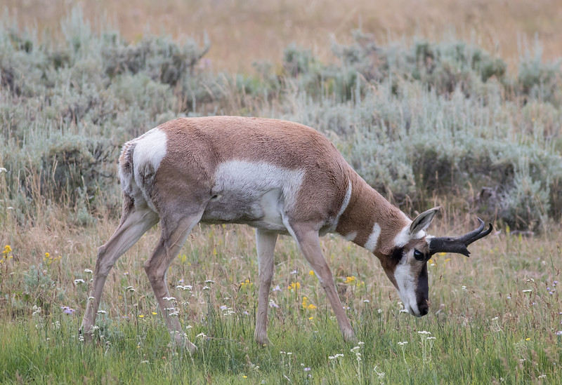 Pronghorn - Antilocapra americana