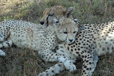 Cheetah mother and cub Maasai Mara Kenya 2006