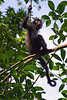 Baby Spider Monkey<br /> Tikal National Park, Guatemala