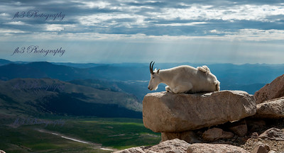 Mount Evans goat. this guy was napping for quite awhile and all the people taking pictures didn't seem to bother him/her at all.