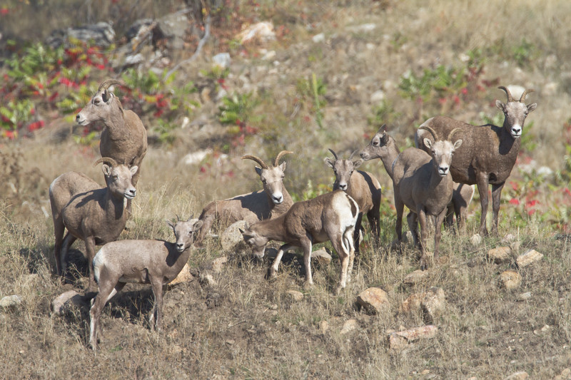 Bighorn Sheep ewes and juveniles hanging out, near Grand Forks, BC, October 2010