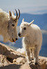Mountain Goat-kid with mom.
