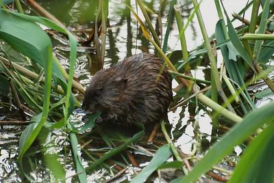 Musk rat eating Phragmites leaf; Flushing Meadows, Flushiing, NY