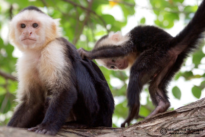 White-headed capuchin monkey, Cebus capunicus, with her baby, Honduras