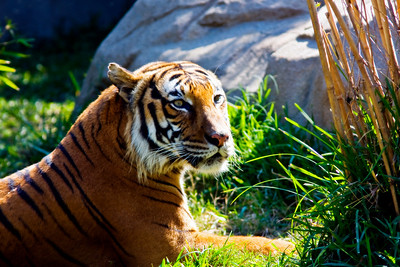 Bengal Tiger, Houston Zoo taken November 2008