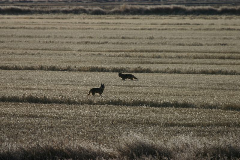 Coyotes at Tule Lake wildlife refuge
