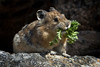 American Pika collecting food for  the winter