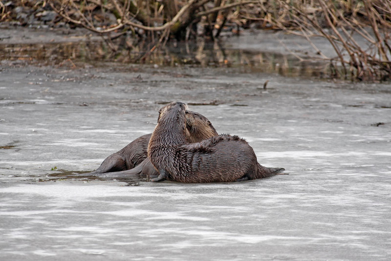 River otters in winter. Photo taken by Jerry Dalrymple