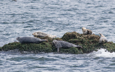 Harbor Seals being lazy. San Juan Islands near Anacortez, WA.