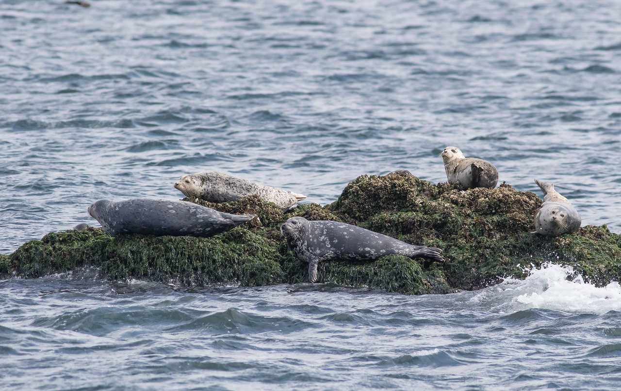 Harbor Seals being lazy. San Juan Islands near Anacortez, WA.