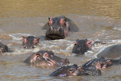 Hippo Kenya 2006