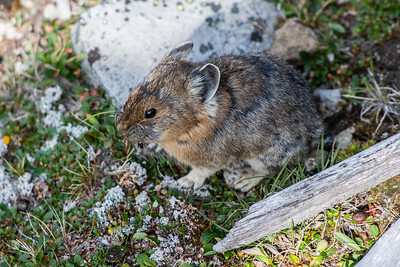 A Pika.  Cute little critters.