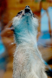 meerkat, Suricata suricatta - Ross Park Zoo, Binghamton, NY. As with the coati, these pictures were a lesson to me that glare need not be the enemy.  Not sure what got her attention here - moments before we watched together as a chipmunk went about it's business but then she found something interesting on the ceiling of her enclosure.  She has a cute chin, don't you think?