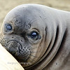 Nursing Elephant Seal