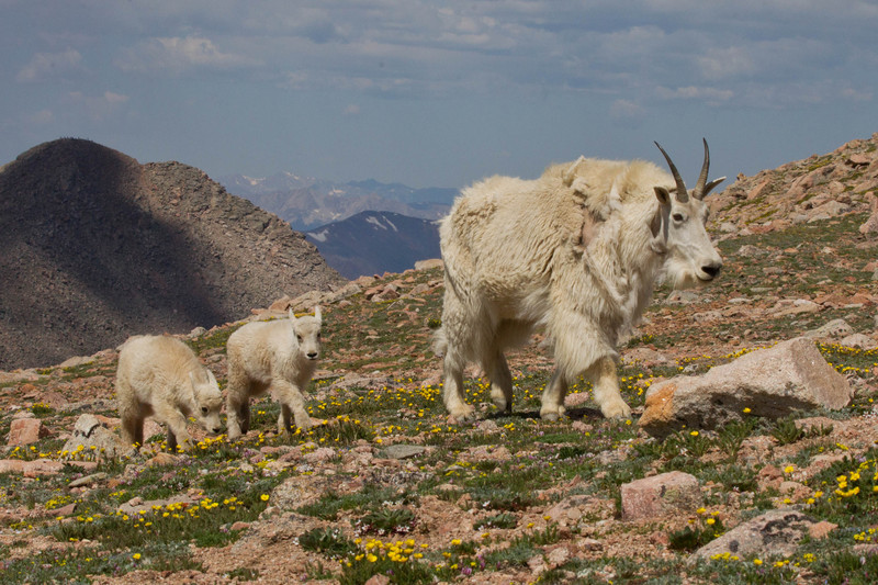 Mountain Goat Mother with two lambs