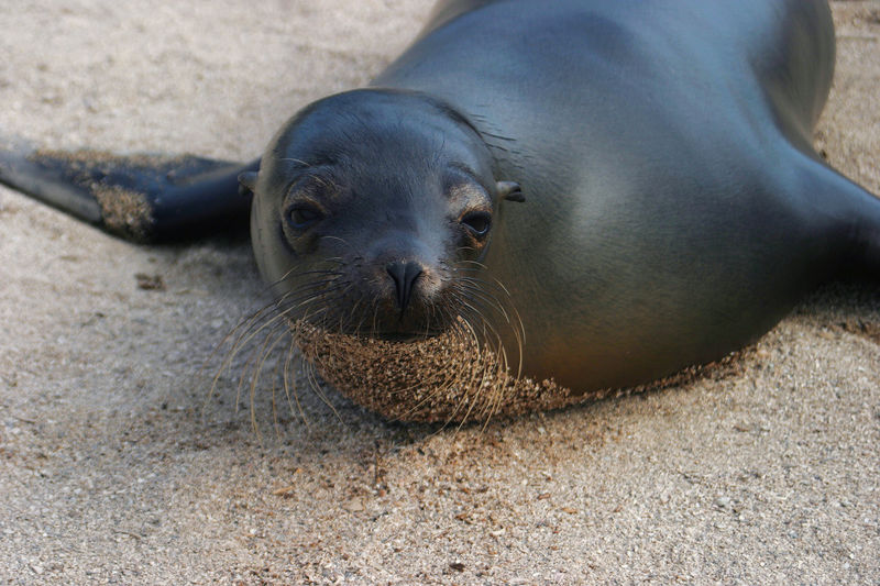 Baby Galapagos Sea lion (<i>Zalophus wollebaeki</i>) Galapagos Islands National Park, Ecuador
