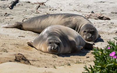 Young Elephant Seals on the Beach