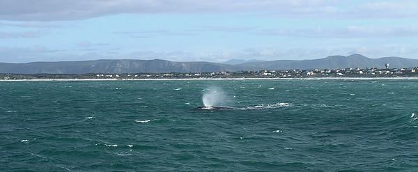 Gansbaai- Afrique du Sud septembre 2012. Baleines franches australes-Southerne right wales