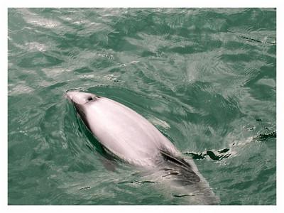 Akaroa-Ile du sud Nouvelle Zélande - février 2006  Dauphin Hector