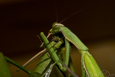Praying_Mantis_Sexual_Cannibalism_European-40