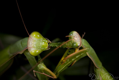 Praying_Mantis_Sexual_Cannibalism_European-17