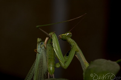 Praying_Mantis_Sexual_Cannibalism_European-44