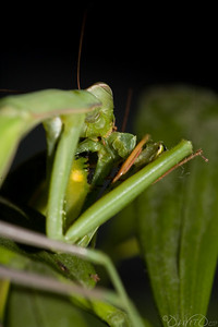 Praying_Mantis_Sexual_Cannibalism_European-22