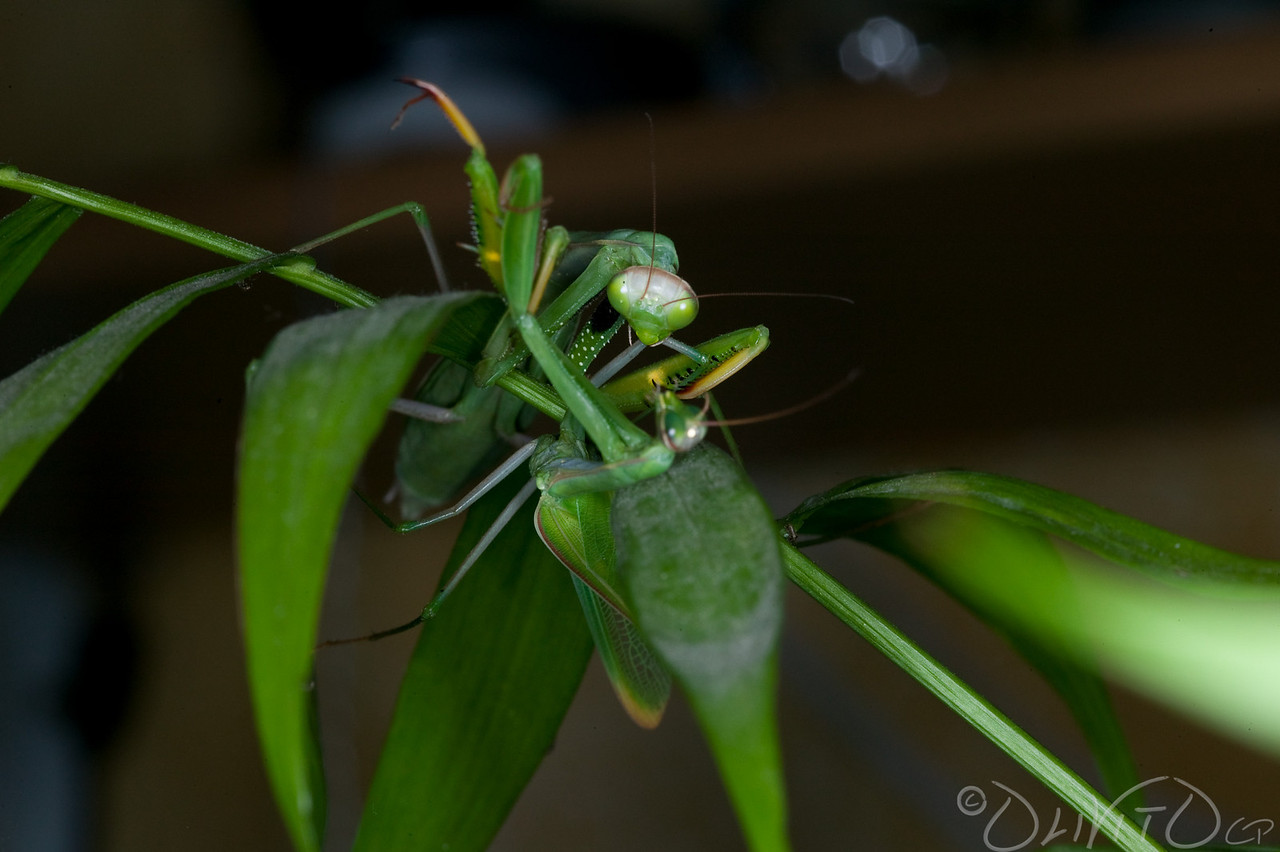 Praying_Mantis_Sexual_Cannibalism_European-55