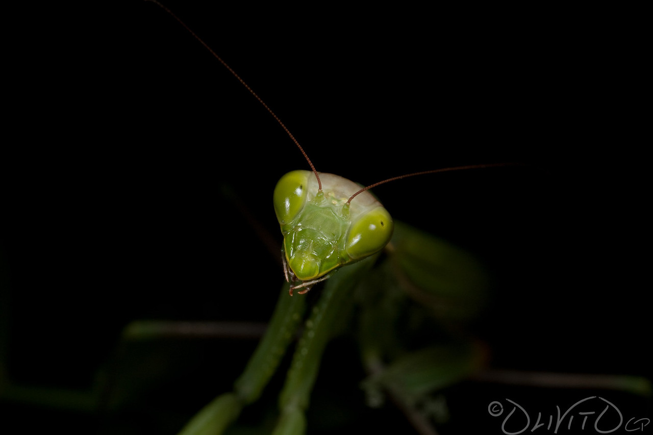 Praying_Mantis_Sexual_Cannibalism_European-52