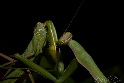 Praying_Mantis_Sexual_Cannibalism_European-34