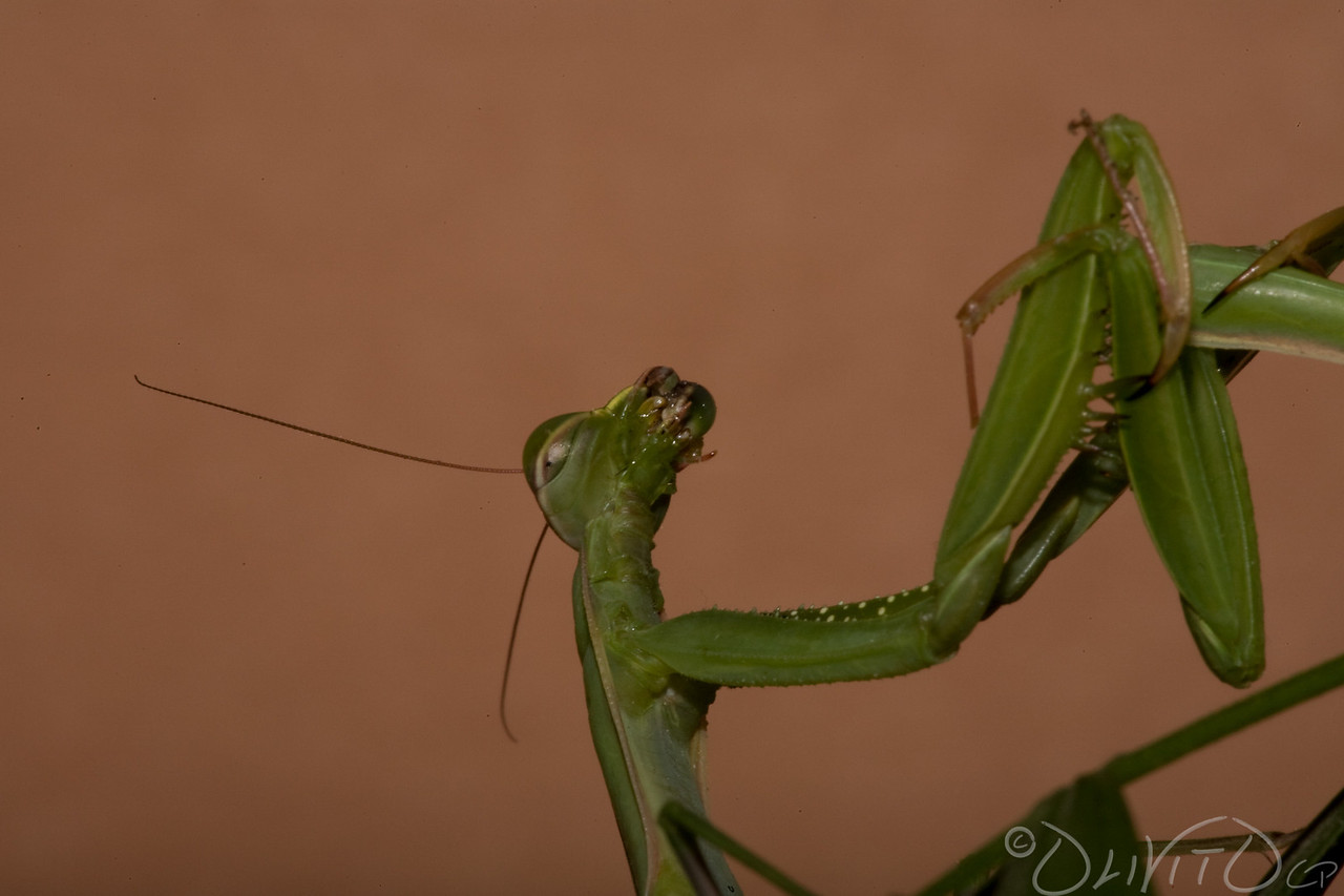 Praying_Mantis_Sexual_Cannibalism_European-30